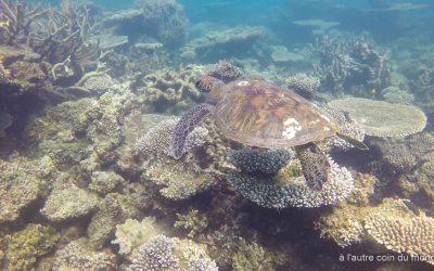 une magnifique tortue pendant une séssion snorkeling à Coral bay